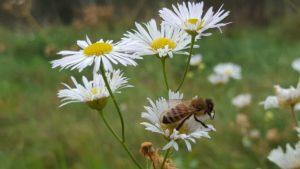 Kurs homeopatii klinicznej - pszczoła na kwiatkach
